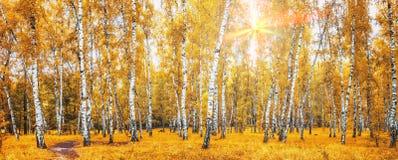 Arboleda del abedul con un camino en día soleado del otoño Imagen de archivo libre de regalías