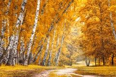Arboleda del abedul con un camino en día soleado del otoño Foto de archivo