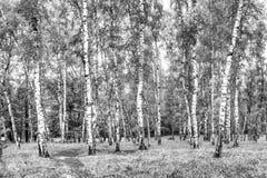Arboleda del abedul con un camino en el día de verano soleado, paisaje del verano Fotografía de archivo libre de regalías