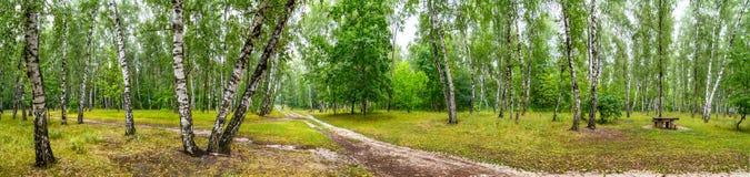 Arboleda del abedul con un camino y banco en día de verano soleado Fotografía de archivo libre de regalías