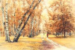 Arboleda del abedul con un ciclista en el cruce de los rastros en día soleado del otoño Foto de archivo libre de regalías