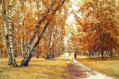 Arboleda del abedul con un ciclista en el cruce de los rastros en día soleado del otoño Imagen de archivo libre de regalías