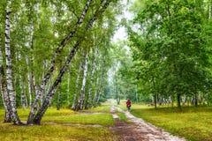 Arboleda del abedul con un ciclista en el cruce de los rastros en día de verano soleado Fotos de archivo libres de regalías