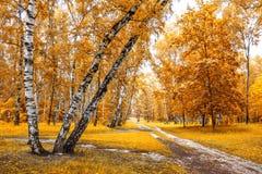 Arboleda del abedul con un cruce de los rastros en día soleado del otoño Fotos de archivo