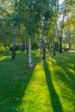 Arboleda del abedul con un racimo de árboles jovenes y viejos en la hierba verde a través de la cual el sol brilla Fotografía de archivo libre de regalías
