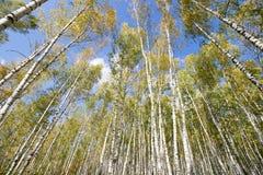 Arboleda del abedul contra el cielo el otoño Fotos de archivo libres de regalías