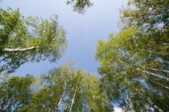 Arboleda del abedul contra el cielo el otoño Foto de archivo libre de regalías