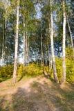 Arboleda del abedul contra el cielo el otoño Imagen de archivo libre de regalías