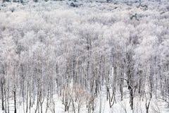 Arboleda del abedul cubierta por la nieve en día de invierno frío Imagen de archivo
