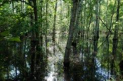 Arboleda del abedul de agua inundada al día de verano soleado agradable Imagen de archivo libre de regalías