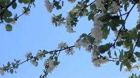 Arboleda del abedul de la primavera almacen de metraje de vídeo