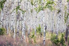 Arboleda del abedul de la primavera con las hojas verdes Imagen de archivo libre de regalías