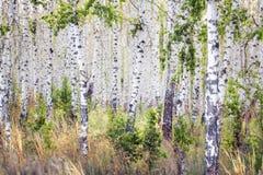 Arboleda del abedul de la primavera con las hojas verdes Imagen de archivo