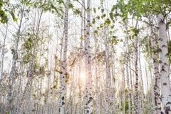 Arboleda del abedul de la primavera con las hojas verdes Fotografía de archivo libre de regalías