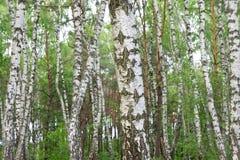 Arboleda del abedul de la primavera en un bosque hermoso denso Fotografía de archivo