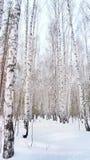 Arboleda del abedul del invierno Imágenes de archivo libres de regalías