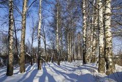 Arboleda del abedul del invierno con el callejón en día soleado Rusia Imagen de archivo