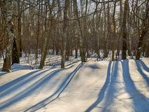 Arboleda del abedul del invierno en un día soleado Imágenes de archivo libres de regalías