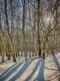 Arboleda del abedul del invierno en un día soleado Fotos de archivo libres de regalías