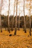 Arboleda del abedul del otoño Fotos de archivo libres de regalías