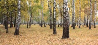Arboleda del abedul del otoño en tiempo nublado Foto de archivo libre de regalías