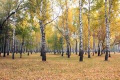 Arboleda del abedul del otoño en tiempo nublado Foto de archivo
