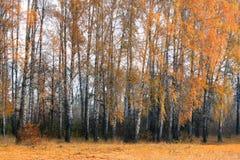 Arboleda del abedul del otoño en tiempo nublado Imagen de archivo