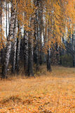 Arboleda del abedul del otoño en tiempo nublado Imágenes de archivo libres de regalías