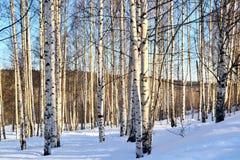 Arboleda del abedul del paisaje del invierno en invierno en un día soleado claro en w Foto de archivo