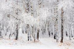 Arboleda del abedul después de nevadas Región de Rusia, Siberia, Novosibirsk Imagen de archivo