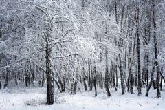 Arboleda del abedul después de nevadas Región de Rusia, Siberia, Novosibirsk Fotografía de archivo libre de regalías