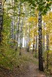 Arboleda del abedul en bosque del otoño Fotos de archivo libres de regalías