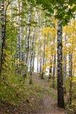 Arboleda del abedul en bosque del otoño Fotografía de archivo libre de regalías
