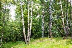 Arboleda del abedul en bosque en verano Foto de archivo libre de regalías