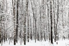 arboleda del abedul en bosque del invierno Fotografía de archivo libre de regalías