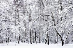 arboleda del abedul en bosque nevoso en día de invierno cubierto Imagenes de archivo