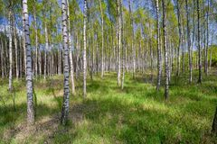 Arboleda del abedul en día de primavera soleado con los troncos blancos Imagen de archivo libre de regalías
