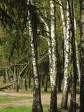 Arboleda del abedul en el bosque Imágenes de archivo libres de regalías