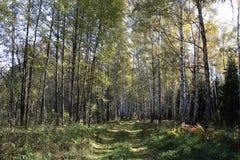 Arboleda del abedul en el bosque del otoño Imágenes de archivo libres de regalías