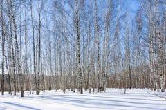 Arboleda del abedul en el día de invierno soleado Imagen de archivo libre de regalías