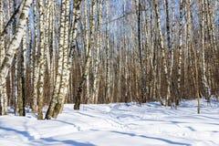 Arboleda del abedul en el día de invierno soleado Fotografía de archivo libre de regalías