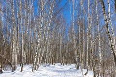 Arboleda del abedul en el día de invierno soleado Fotos de archivo libres de regalías