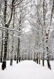 Arboleda del abedul en el invierno ruso Fotografía de archivo