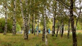 Arboleda del abedul en el parque de la ciudad Imagen de archivo libre de regalías