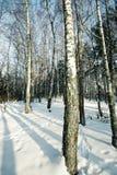 Arboleda del abedul en invierno Fotografía de archivo libre de regalías