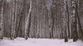 Arboleda del abedul en invierno almacen de video