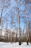Arboleda del abedul en invierno Imagen de archivo