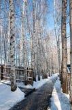 Arboleda del abedul en invierno Fotos de archivo libres de regalías