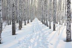 Arboleda del abedul en invierno Fotografía de archivo