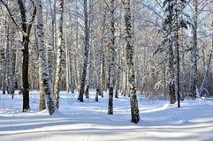 Arboleda del abedul en invierno Día claro soleado Fotografía de archivo